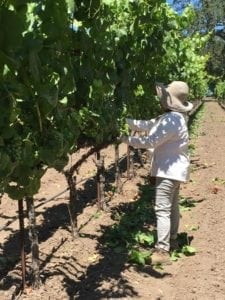 vineyard-maintenance-sonoma-county